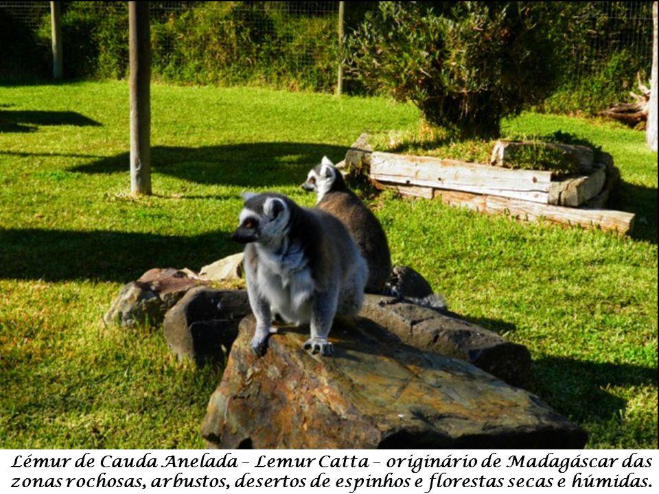 Siamango – Symphalangus Syndactylus – originário das florestas das montanhas da Malásia e Sumatra.