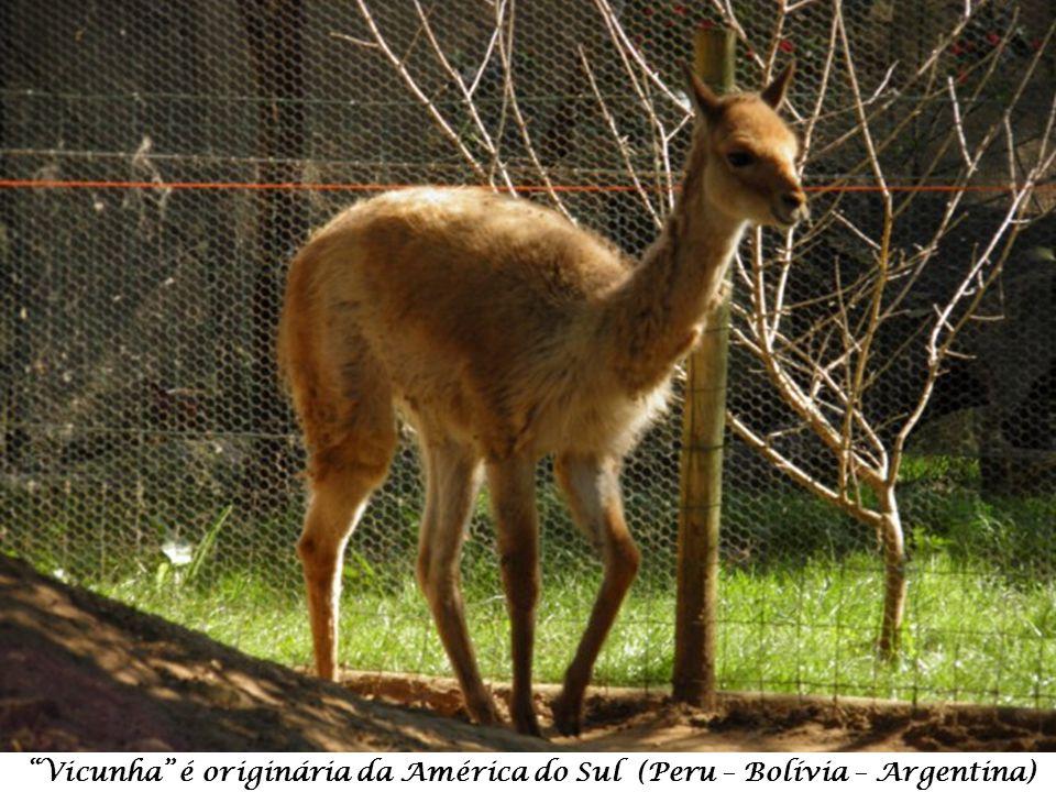 Suricata – Suricata suricatta – originária da África do Sul, Botswana, Zimbabwe e Moçambique.