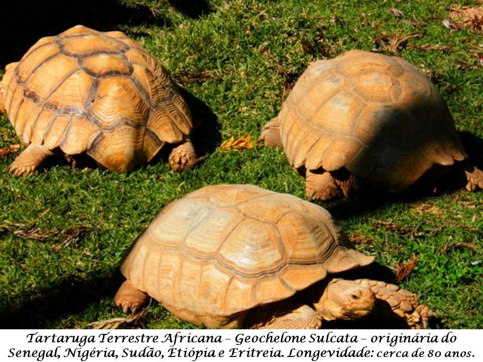 Marabu – Leptoptilos Crumeniferus – originária da África, desde o deserto do Sahara até à África do Sul.