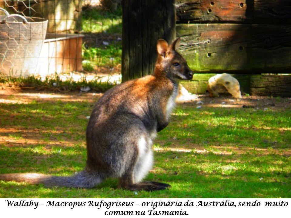 Wallaby – Macropus Rufogriseus – originária da Austrália, sendo muito comum na Tasmania.
