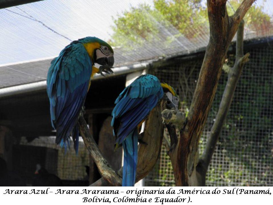 Arara Azul – Arara Ararauna – originaria da América do Sul (Panamá, Bolívia, Colômbia e Equador ).