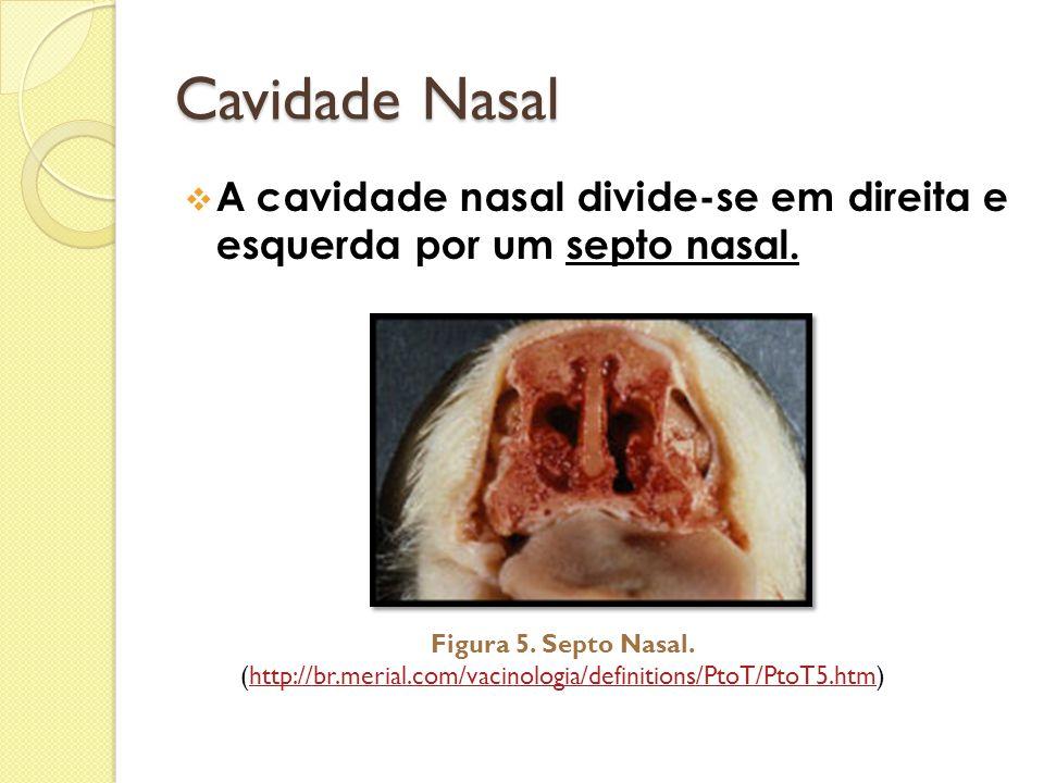 Cavidade Nasal  A cavidade nasal divide-se em direita e esquerda por um septo nasal. Figura 5. Septo Nasal. (http://br.merial.com/vacinologia/definit