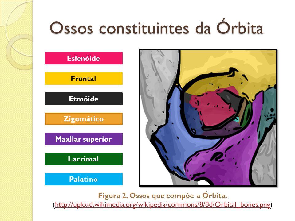 Ossos constituintes da Órbita Esfenóide Zigomático Frontal Etmóide Maxilar superior Lacrimal Palatino Figura 2. Ossos que compõe a Órbita. (http://upl