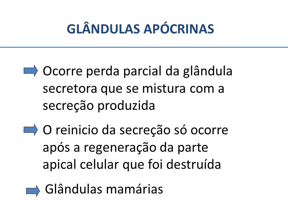 GLÂNDULAS APÓCRINAS Ocorre perda parcial da glândula secretora que se mistura com a secreção produzida O reinicio da secreção só ocorre após a regener