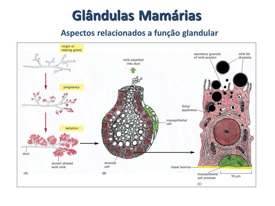 Glândulas Mamárias Aspectos relacionados a função glandular