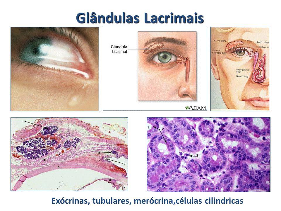 Glândulas Lacrimais Exócrinas, tubulares, merócrina,células cilindricas
