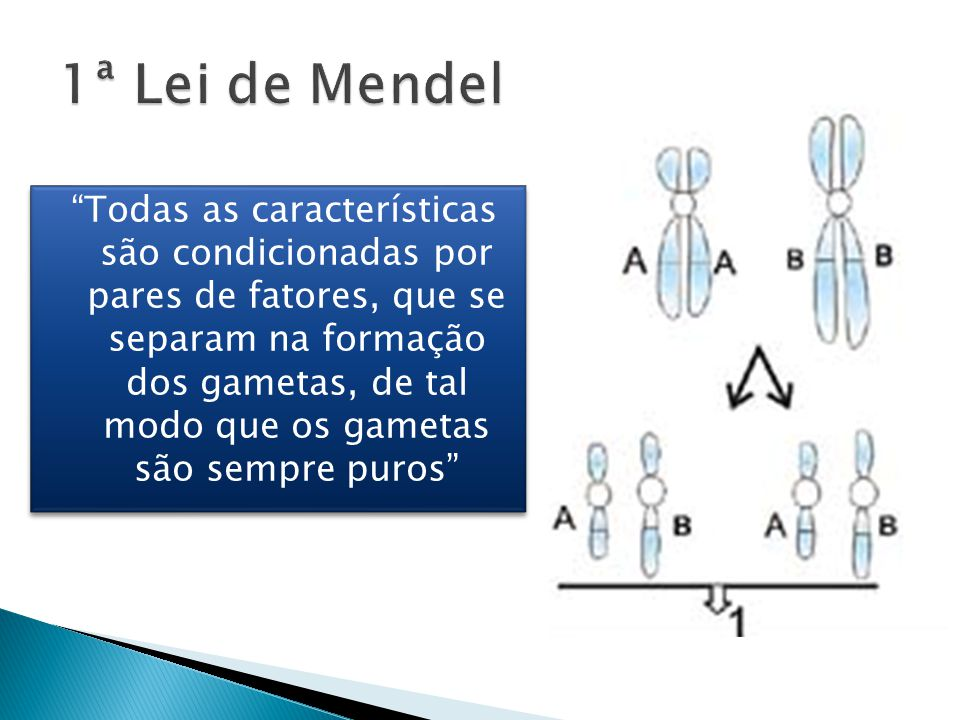Todas as características são condicionadas por pares de fatores, que se separam na formação dos gametas, de tal modo que os gametas são sempre puros