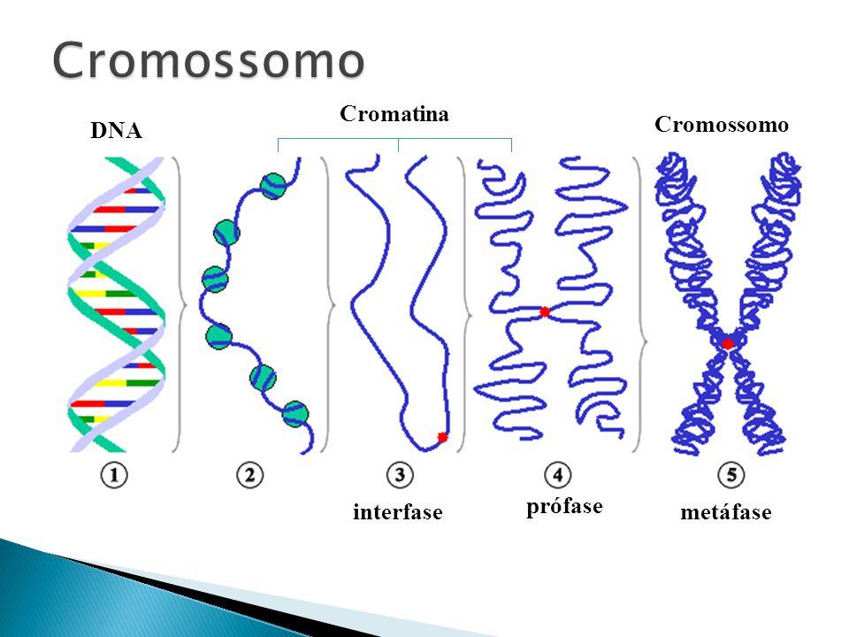 interfase prófase metáfase DNA Cromatina Cromossomo