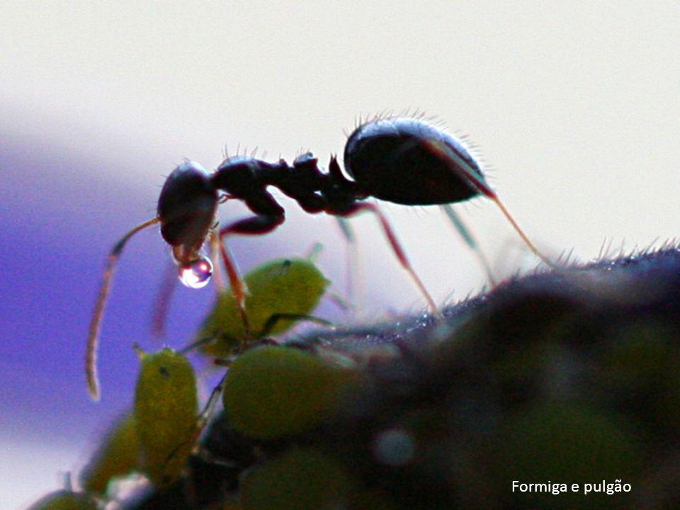 Formiga e pulgão