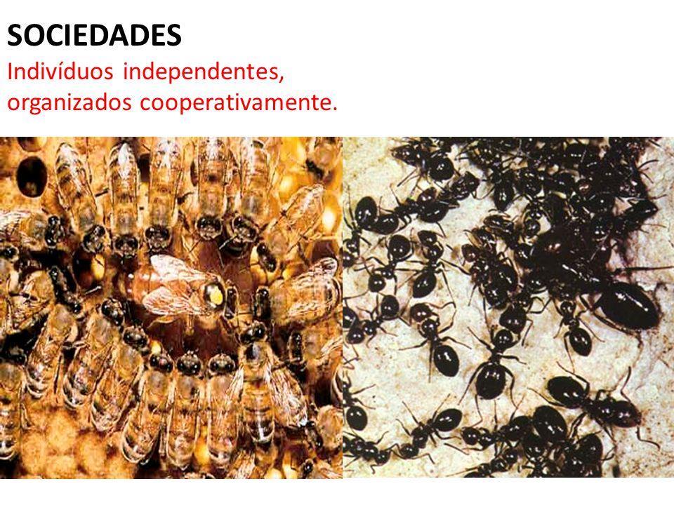 SOCIEDADES Indivíduos independentes, organizados cooperativamente.