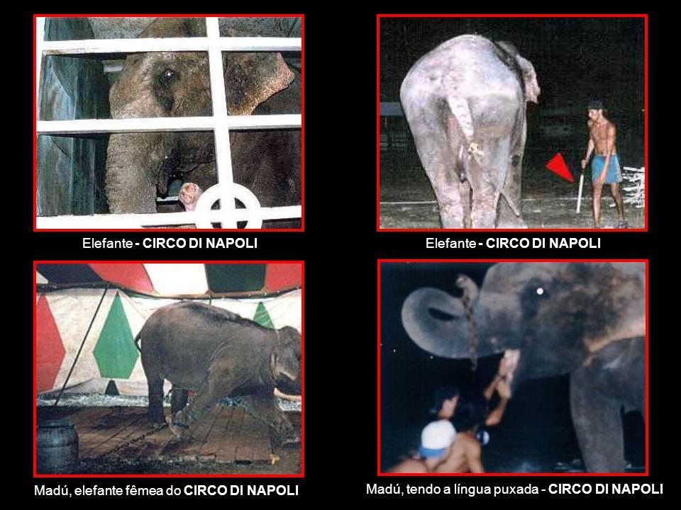 Elefante - CIRCO DI NAPOLI Madú, elefante fêmea do CIRCO DI NAPOLI Madú, tendo a língua puxada - CIRCO DI NAPOLI