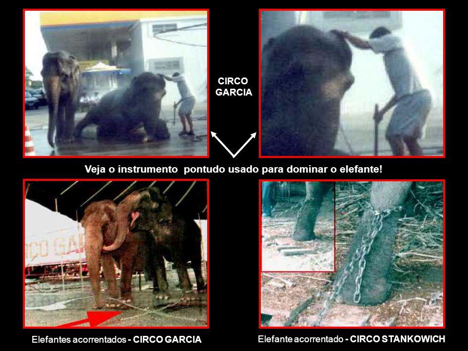 CIRCO GARCIA Elefantes acorrentados - CIRCO GARCIA Veja o instrumento pontudo usado para dominar o elefante.