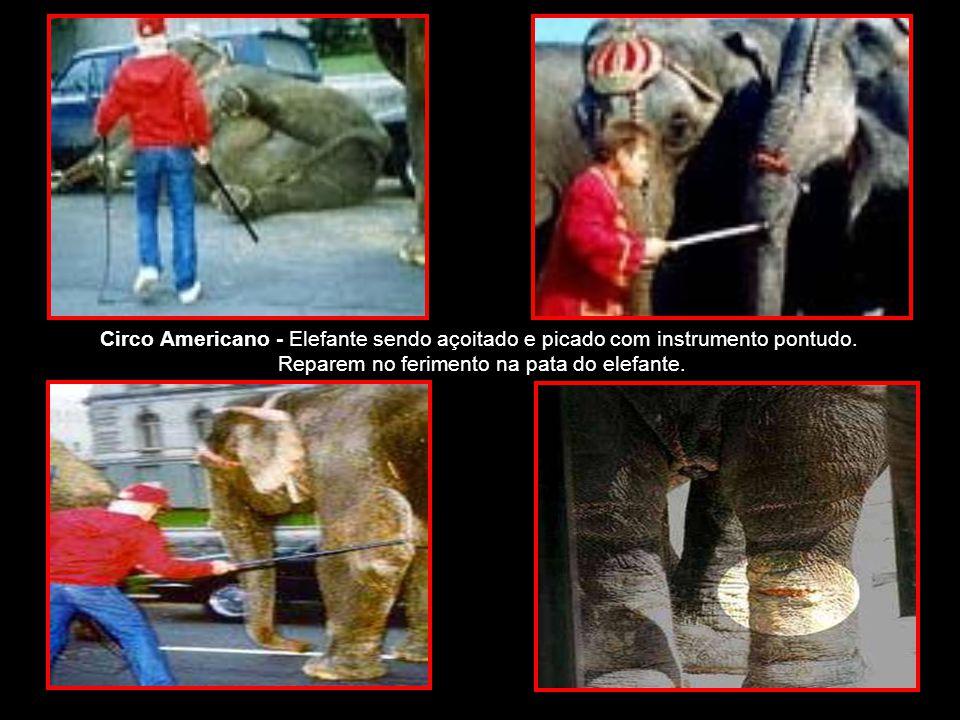 Circo Americano - Elefante sendo açoitado e picado com instrumento pontudo.