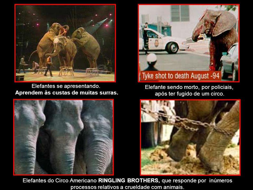 Elefantes do Circo Americano RINGLING BROTHERS, que responde por inúmeros processos relativos a crueldade com animais.