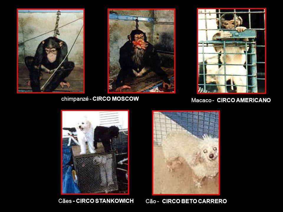 chimpanzé - CIRCO MOSCOW Cães - CIRCO STANKOWICH Cão - CIRCO BETO CARRERO Macaco - CIRCO AMERICANO