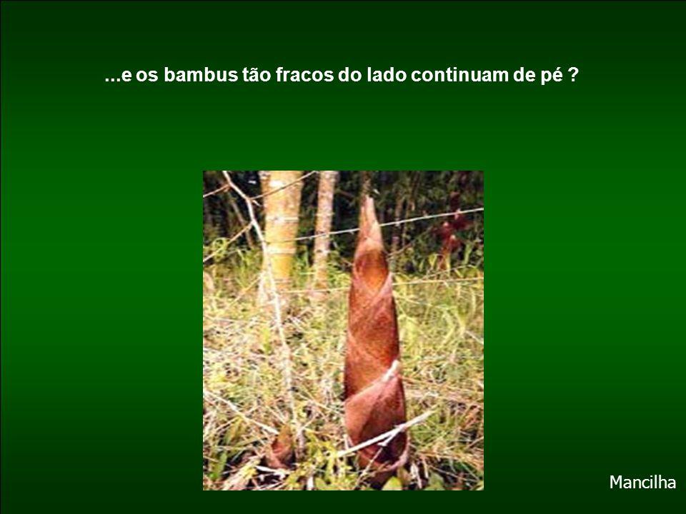 ...e os bambus tão fracos do lado continuam de pé ? Mancilha