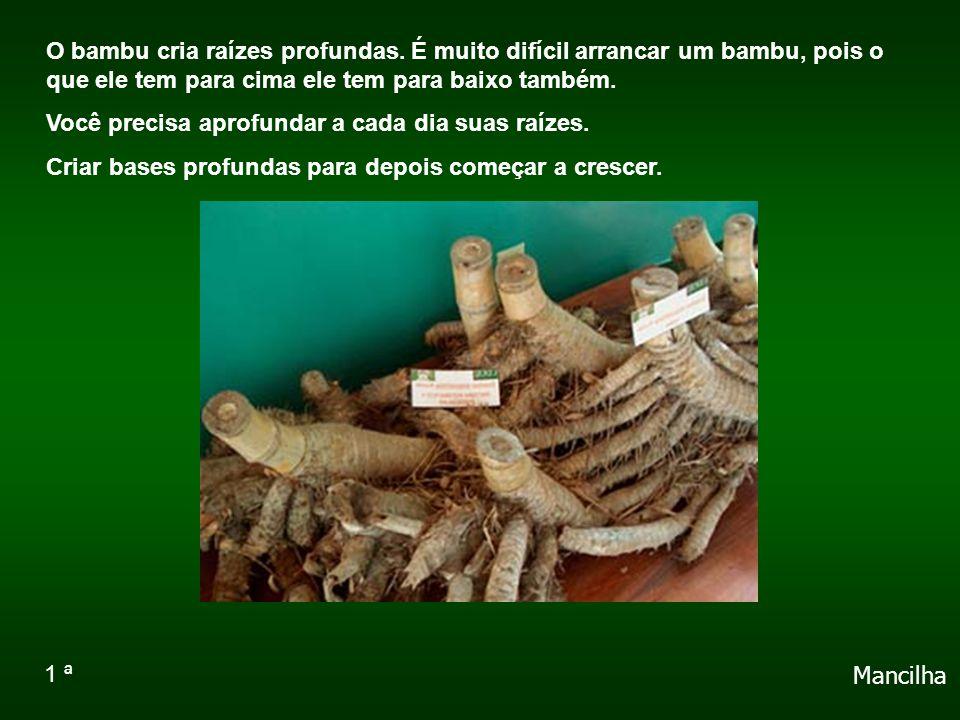 O bambu cria raízes profundas.