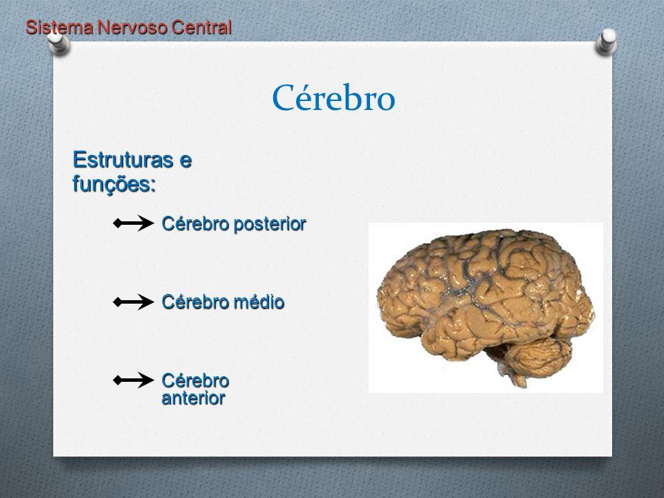 Sistema Nervoso Central Cérebro Estruturas e funções: Cérebro posterior Cérebro médio Cérebro anterior