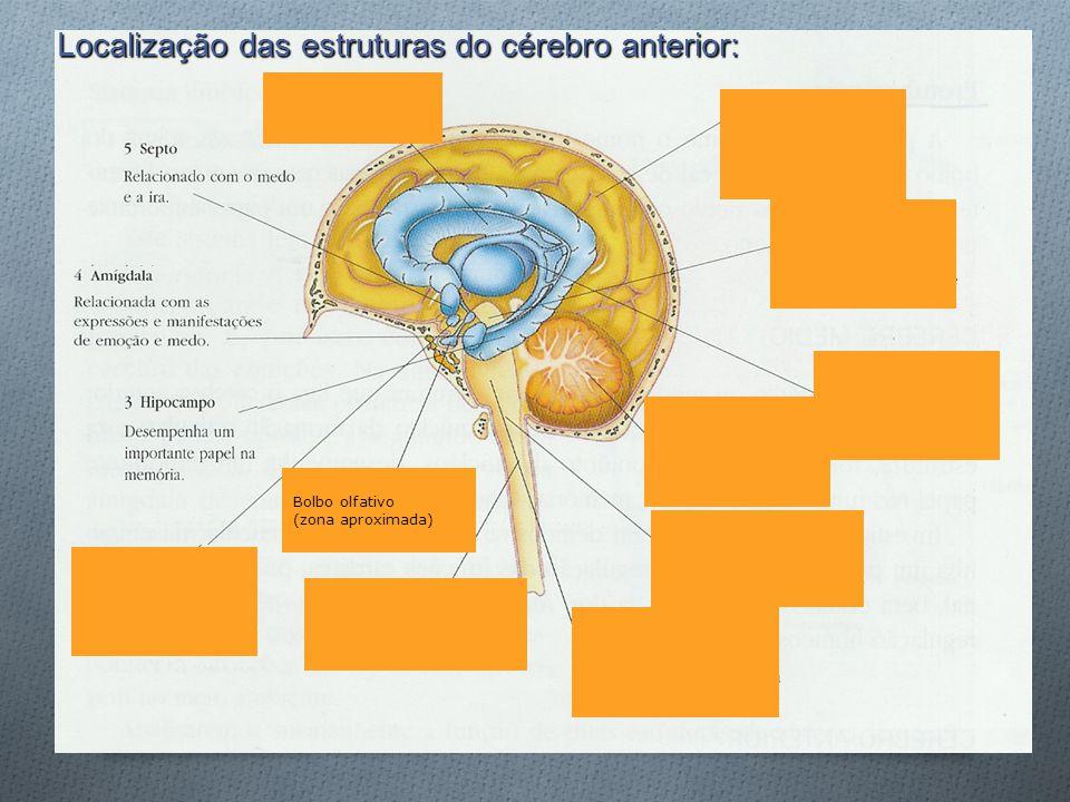 Localização das estruturas do cérebro anterior: Bolbo olfativo (zona aproximada)
