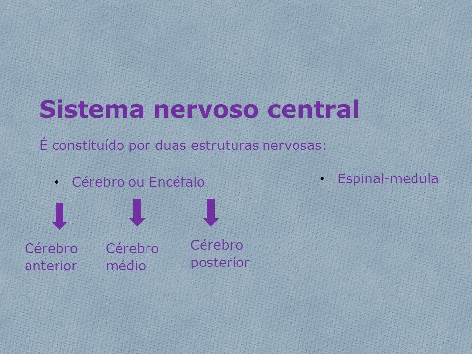 Sistema nervoso central É constituído por duas estruturas nervosas: • Cérebro ou Encéfalo • Espinal-medula Cérebro anterior Cérebro médio Cérebro post