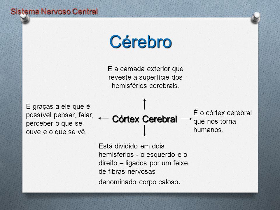 Sistema Nervoso Central Cérebro Córtex Cerebral É a camada exterior que reveste a superfície dos hemisférios cerebrais. É graças a ele que é possível