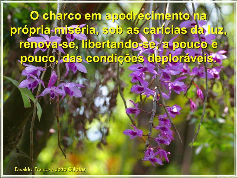 O botão de rosa, osculado pela luz solar, abre-se a desatar perfumes. Divaldo Franco / João Cléofas