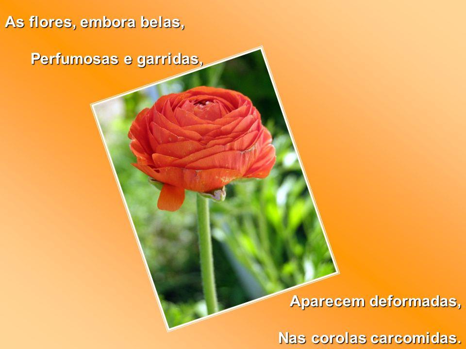As flores, embora belas, Perfumosas e garridas, Perfumosas e garridas, Aparecem deformadas, Nas corolas carcomidas.