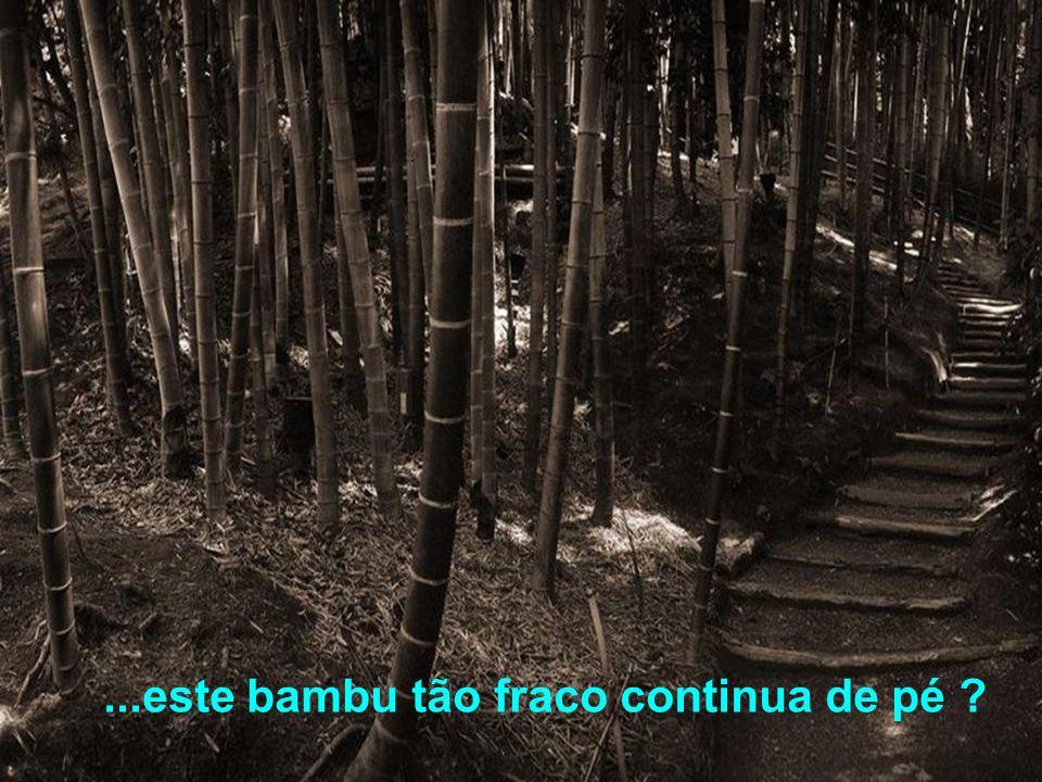 ...este bambu tão fraco continua de pé ?