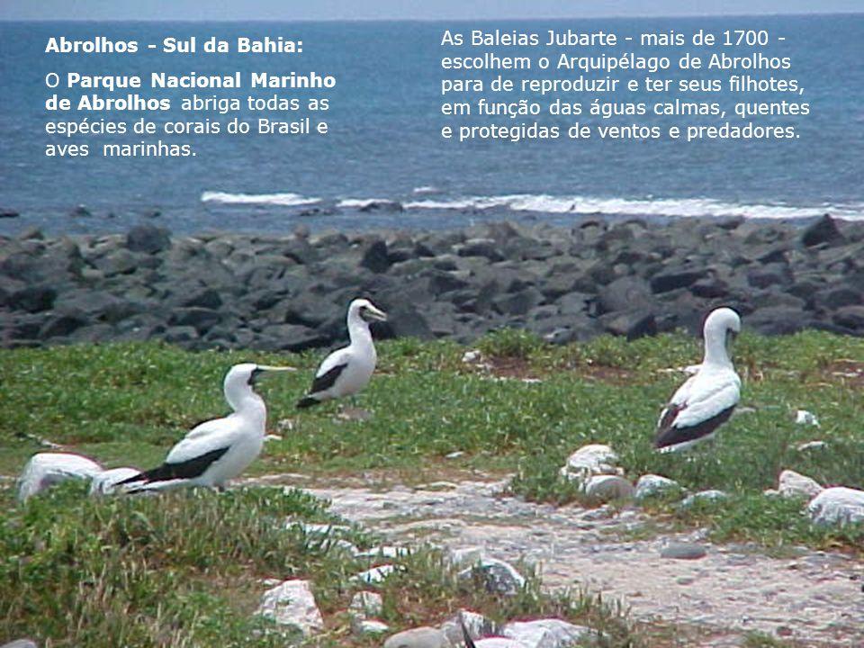 Abrolhos - Sul da Bahia: O Parque Nacional Marinho de Abrolhos abriga todas as espécies de corais do Brasil e aves marinhas. As Baleias Jubarte - mais