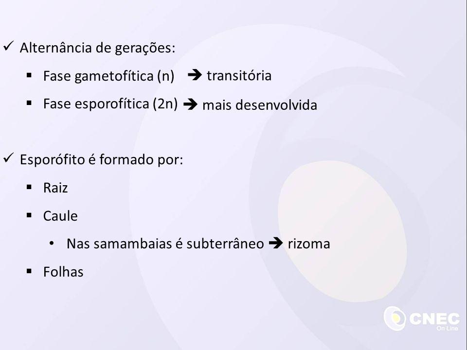  Alternância de gerações:  Fase gametofítica (n)  Fase esporofítica (2n)  Esporófito é formado por:  Raiz  Caule • Nas samambaias é subterrâneo