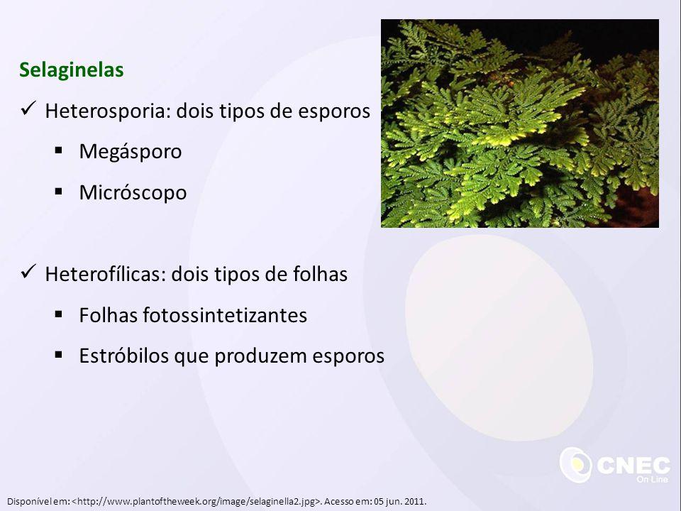 Selaginelas  Heterosporia: dois tipos de esporos  Megásporo  Micróscopo  Heterofílicas: dois tipos de folhas  Folhas fotossintetizantes  Estróbi
