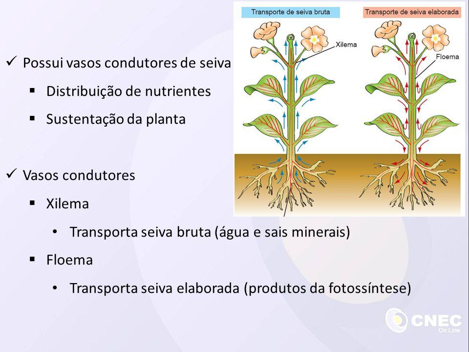  Possui vasos condutores de seiva  Distribuição de nutrientes  Sustentação da planta  Vasos condutores  Xilema • Transporta seiva bruta (água e s