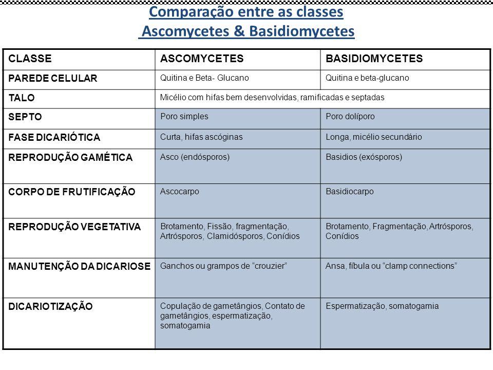 CLASSEASCOMYCETESBASIDIOMYCETES PAREDE CELULAR Quitina e Beta- GlucanoQuitina e beta-glucano TALO Micélio com hifas bem desenvolvidas, ramificadas e s