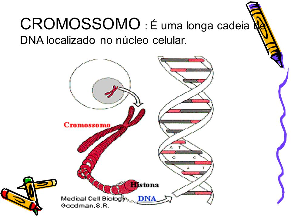 CROMOSSOMO : É uma longa cadeia de DNA localizado no núcleo celular.
