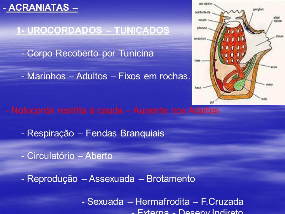 2 - CEFALOCORDADOS – - Anfioxo - Marinhos – - Respiração – Fendas Brânquiais - Circulação – Aberta - Notocorda – Cabeça até à cauda.