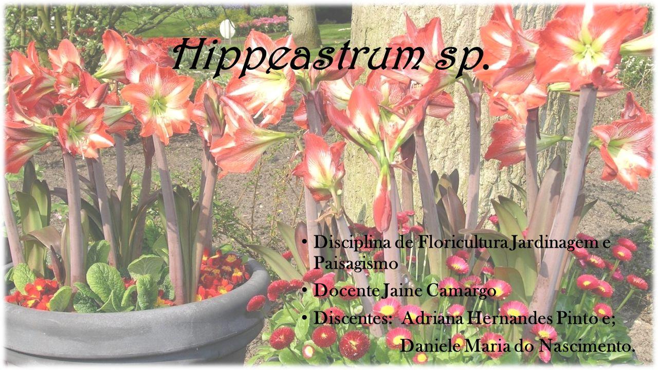 Hippeastrum sp. • Disciplina de Floricultura Jardinagem e Paisagismo • Docente Jaine Camargo • Discentes: Adriana Hernandes Pinto e; Daniele Maria do