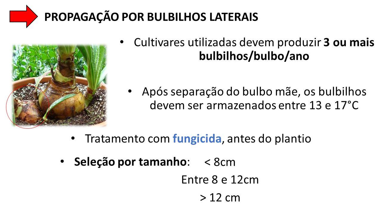• Cultivares utilizadas devem produzir 3 ou mais bulbilhos/bulbo/ano • Após separação do bulbo mãe, os bulbilhos devem ser armazenados entre 13 e 17°C