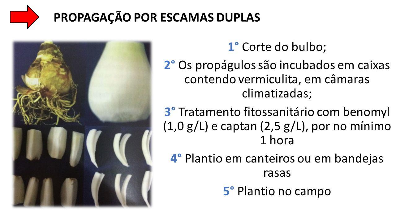 1° Corte do bulbo; 2° Os propágulos são incubados em caixas contendo vermiculita, em câmaras climatizadas; 3° Tratamento fitossanitário com benomyl (1