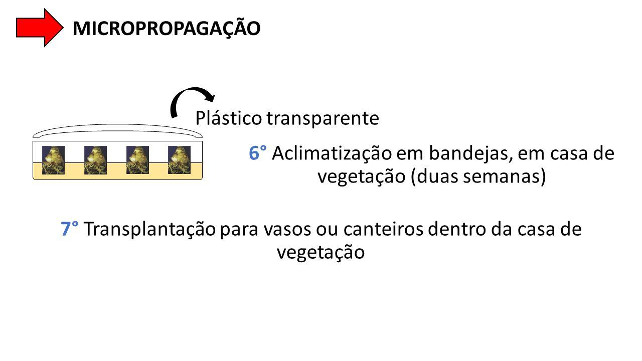 Plástico transparente MICROPROPAGAÇÃO 6° Aclimatização em bandejas, em casa de vegetação (duas semanas) 7° Transplantação para vasos ou canteiros dent