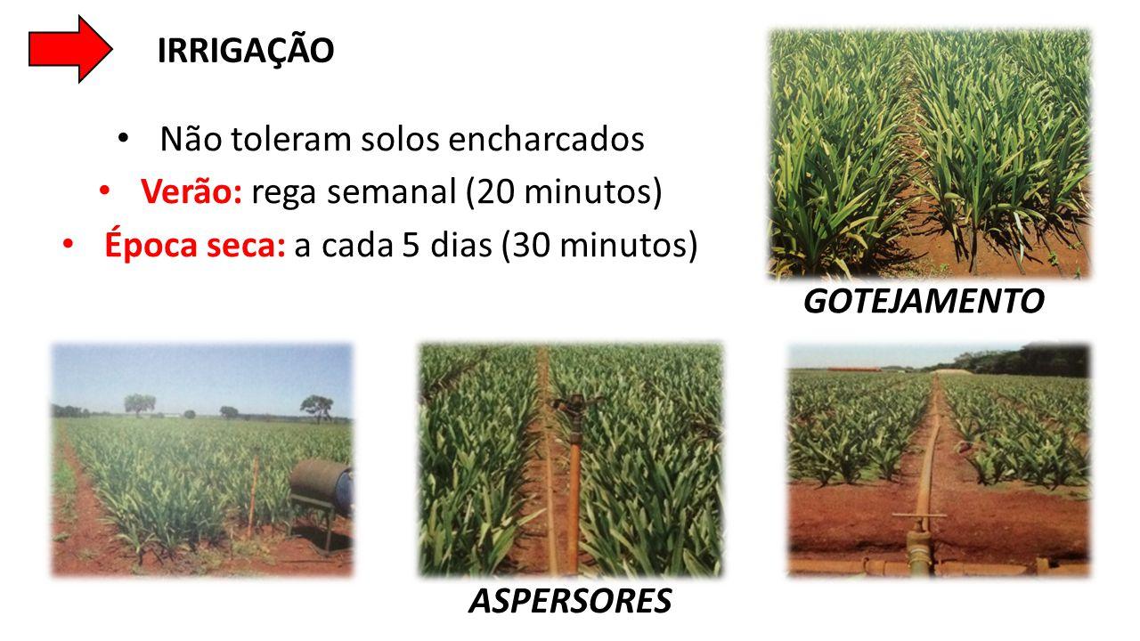 • Não toleram solos encharcados • Verão: rega semanal (20 minutos) • Época seca: a cada 5 dias (30 minutos) IRRIGAÇÃO GOTEJAMENTO ASPERSORES