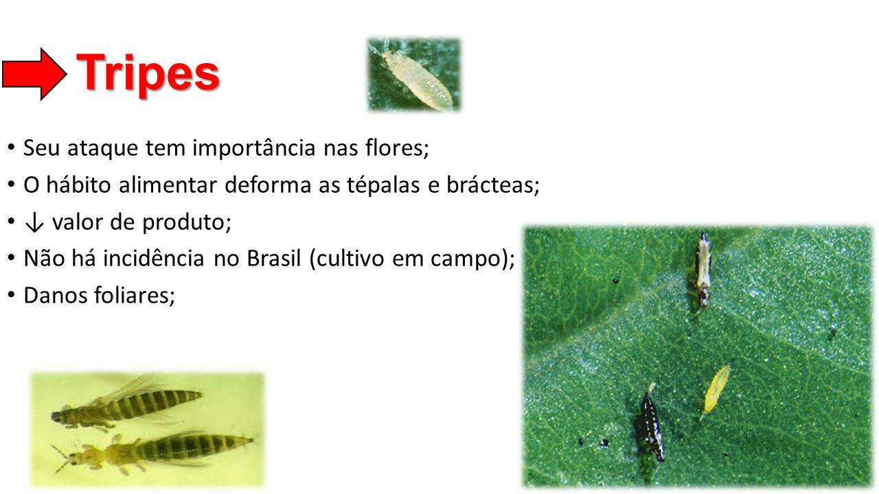 Tripes • Seu ataque tem importância nas flores; • O hábito alimentar deforma as tépalas e brácteas; • ↓ valor de produto; • Não há incidência no Brasi