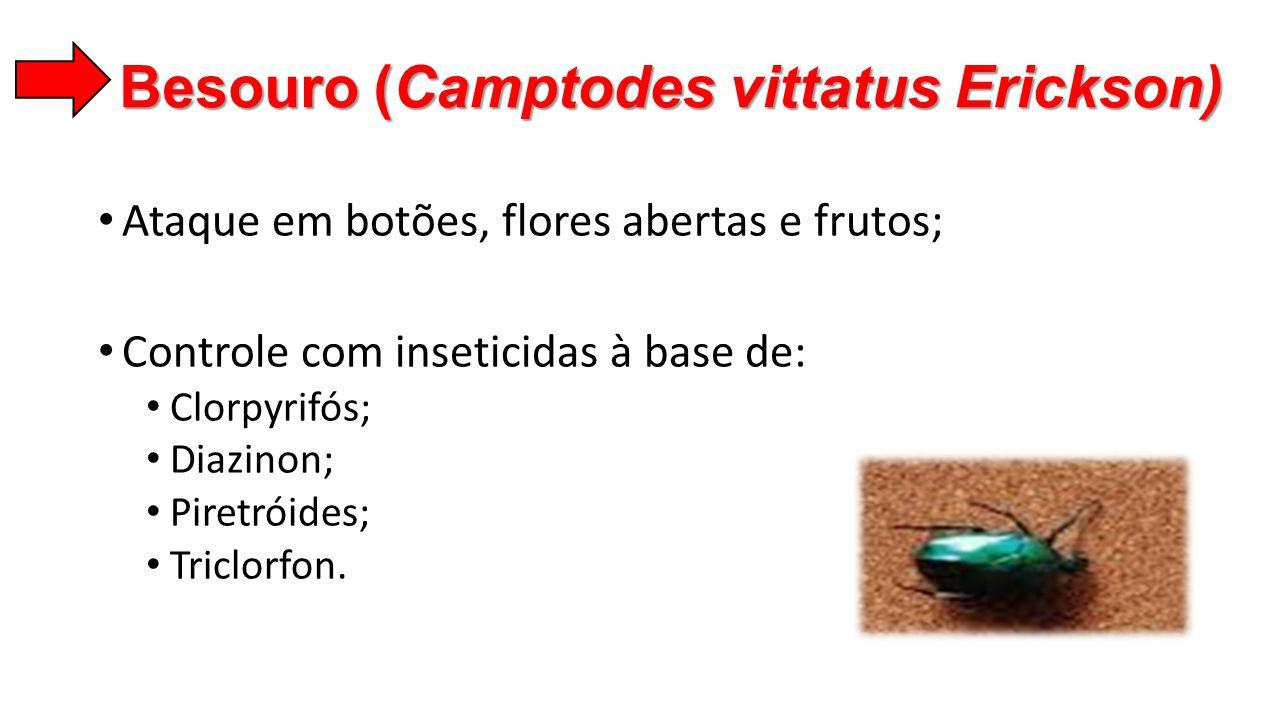 Besouro (Camptodes vittatus Erickson) • Ataque em botões, flores abertas e frutos; • Controle com inseticidas à base de: • Clorpyrifós; • Diazinon; •