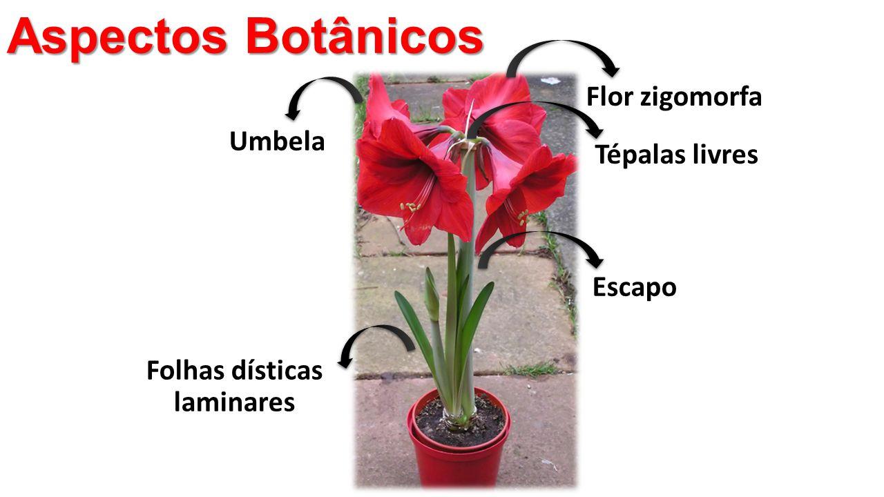 Aspectos Botânicos Folhas dísticas laminares Umbela Escapo Flor zigomorfa Tépalas livres