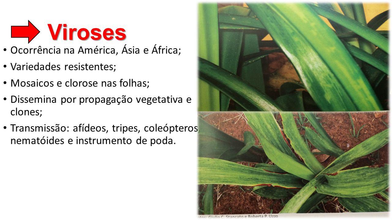 Viroses • Ocorrência na América, Ásia e África; • Variedades resistentes; • Mosaicos e clorose nas folhas; • Dissemina por propagação vegetativa e clo