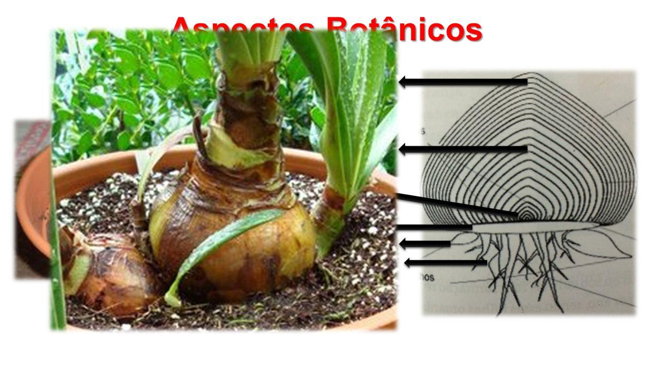 Aspectos Botânicos Prato Gemas Escama externa Escama interna Raízes primarias Bulbilhos