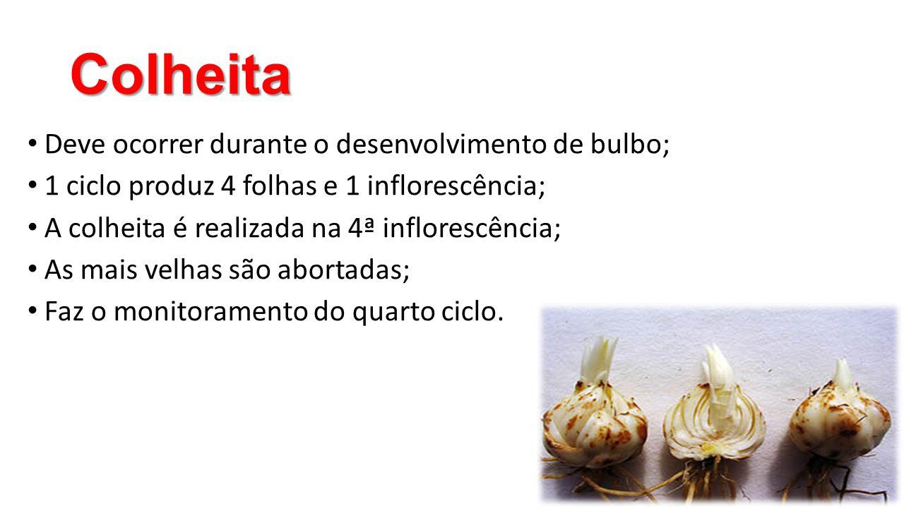 Colheita • Deve ocorrer durante o desenvolvimento de bulbo; • 1 ciclo produz 4 folhas e 1 inflorescência; • A colheita é realizada na 4ª inflorescênci