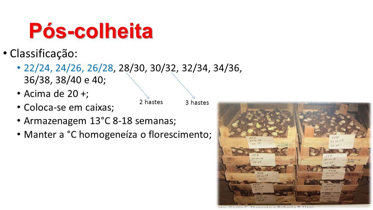 Pós-colheita • Classificação: • 22/24, 24/26, 26/28, 28/30, 30/32, 32/34, 34/36, 36/38, 38/40 e 40; • Acima de 20 +; • Coloca-se em caixas; • Armazena