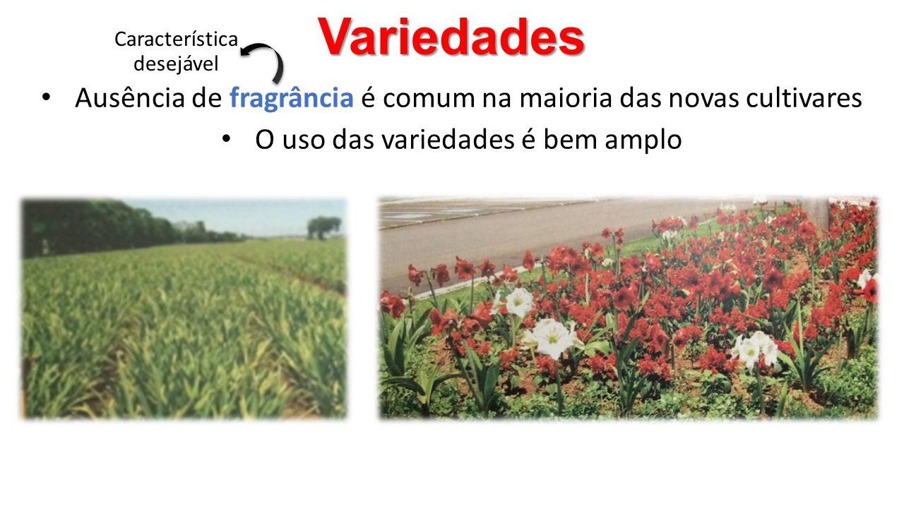 Variedades • Ausência de fragrância é comum na maioria das novas cultivares • O uso das variedades é bem amplo Característica desejável