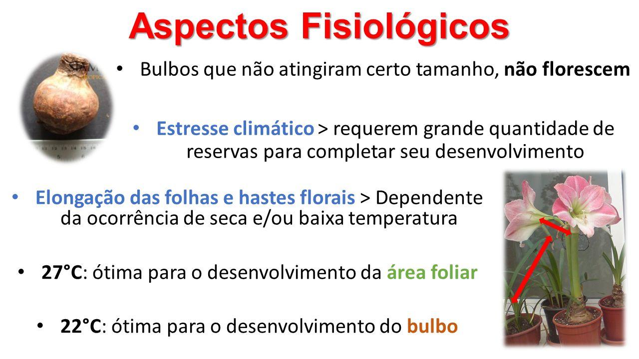 Aspectos Fisiológicos • Bulbos que não atingiram certo tamanho, não florescem • Estresse climático > requerem grande quantidade de reservas para compl