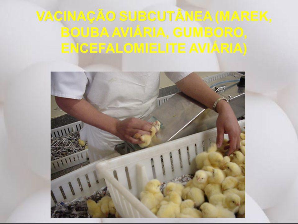VACINAÇÃO SUBCUTÂNEA VACINAÇÃO SUBCUTÂNEA (MAREK, BOUBA AVIÁRIA, GUMBORO, ENCEFALOMIELITE AVIÁRIA)